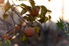Cachi sull'albero ad alba in un campo agricolo Sfondo naturale immagini stock