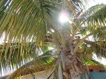 Cacho da palma em Cuba na primavera Recurso cubano imagem de stock