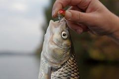 Cacho en la mano del pescador Fotos de archivo libres de regalías
