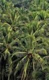 Cacho verde do coco para o papel de parede e o fundo do telefone celular fotos de stock royalty free