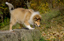 Cachorrinho áspero da collie Fotografia de Stock