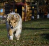 Cachorrinho áspero da collie Fotografia de Stock Royalty Free