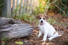 Cachorrinho Imagens de Stock