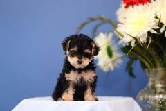 Cachorrinho adorável com flores e fundo azul Foto de Stock