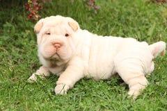Cachorrinho adorável de Shar Pei no jardim Fotos de Stock