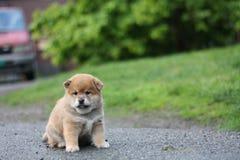 Cachorrinho adorável do inu do shiba adorável Foto de Stock