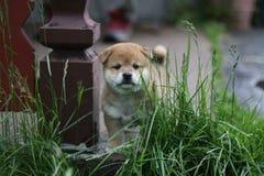Cachorrinho adorável do inu do shiba adorável Imagem de Stock Royalty Free