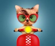 Cachorrinho adorável que senta-se em um velomotor Foto de Stock Royalty Free