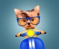 Cachorrinho adorável que senta-se em um velomotor Fotografia de Stock Royalty Free