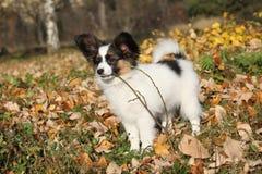 Cachorrinho adorável do papillon que joga com uma vara Imagens de Stock