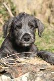 Cachorrinho agradável do cão caçador de lobos irlandês que olha o fotos de stock royalty free