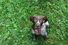 Cachorrinho alemão do cabelo curto Imagem de Stock Royalty Free