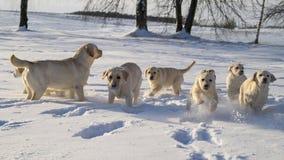 Cachorrinho amarelo de Labrador que joga na neve Imagens de Stock Royalty Free