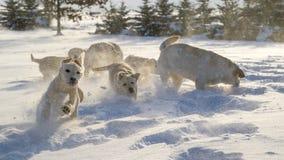 Cachorrinho amarelo de Labrador que joga na neve Fotografia de Stock Royalty Free