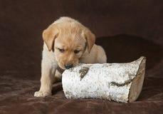 Cachorrinho amarelo de labrador retriever que mastiga um log fotos de stock