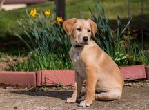 Cachorrinho amarelo do laboratório foto de stock