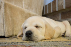 Cachorrinho amarelo do laboratório Imagem de Stock