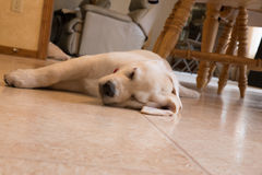 Cachorrinho amarelo do laboratório que dorme no assoalho da cozinha foto de stock royalty free
