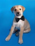 Cachorrinho amarelo em um laço que senta-se no azul Imagens de Stock Royalty Free