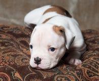 Cachorrinho americano do buldogue da cor branca vermelha pequena engraçada no fundo claro imagem de stock royalty free