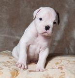 Cachorrinho americano do buldogue da cor branca vermelha pequena engraçada no fundo claro imagens de stock