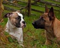 Cachorrinho americano do buldogue e um cachorrinho de Malinois, imagem de stock royalty free