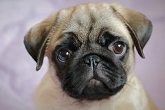 cachorrinho atento do pug foto de stock royalty free