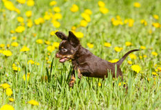 Cachorrinho ativo pequeno que salta na grama verde Brinquedo do russo fotos de stock royalty free