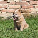 Cachorrinho australiano de surpresa do cão do gado fotografia de stock