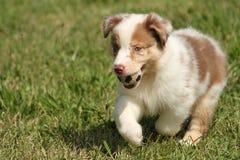 Cachorrinho australiano que joga com uma bola fotos de stock