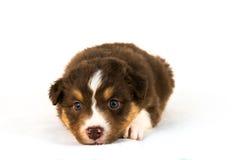 Cachorrinho australiano Tricolor vermelho do pastor Foto de Stock