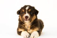 Cachorrinho australiano Tricolor vermelho do pastor Imagens de Stock