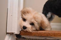 Cachorrinho bege cansado de Havanese que coloca no assoalho em uma entrada imagens de stock