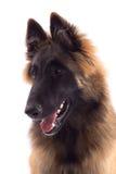 Cachorrinho belga do cão de Tervuren do pastor, seis meses velho, headshot Fotografia de Stock Royalty Free
