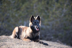 Cachorrinho belga do pastor que encontra-se para baixo Fotos de Stock Royalty Free