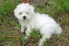 Cachorrinho bolonhês bonito Fotos de Stock