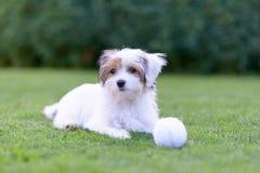 Cachorrinho bonito com a bola que descansa na grama verde do verão imagens de stock
