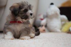 Cachorrinho bonito com um colar vermelho Fotos de Stock Royalty Free