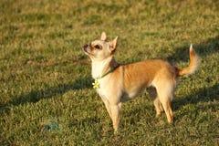 Cachorrinho bonito da chihuahua que está no Sun Fotos de Stock Royalty Free