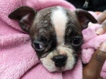 Cachorrinho bonito de Boston fotografia de stock royalty free