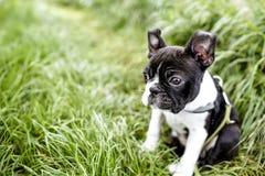 Cachorrinho bonito de Boston Terrier na grama imagens de stock royalty free