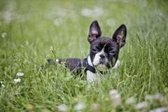 Cachorrinho bonito de Boston Terrier na grama fotos de stock royalty free