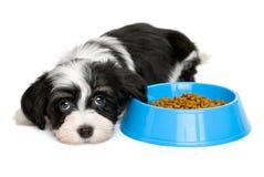 Cachorrinho bonito de Havanese que encontra-se ao lado de uma bacia azul do alimento fotografia de stock