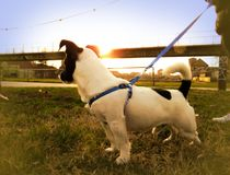 Cachorrinho bonito de Jack Russell com por do sol no fundo foto de stock royalty free