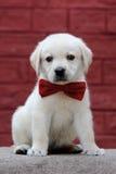 Cachorrinho bonito de Labrador Fotografia de Stock