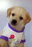 Cachorrinho bonito de Labrador Imagens de Stock Royalty Free