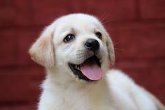 Cachorrinho bonito de Labrador Foto de Stock