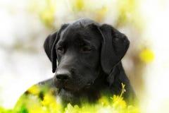 Cachorrinho bonito de Labrador do preto do puro-sangue que encontra-se no outd do verão Foto de Stock Royalty Free