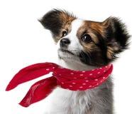 Cachorrinho bonito de Papillon Imagens de Stock Royalty Free