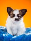 Cachorrinho bonito de Papillon em um fundo alaranjado Imagens de Stock